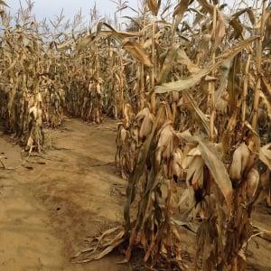 A...maize - Cornstalks