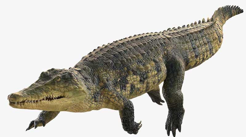 Animated AR Crocodile 4
