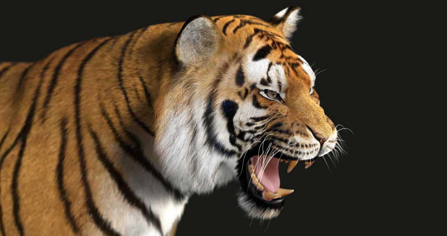 Animated AR Tiger 3